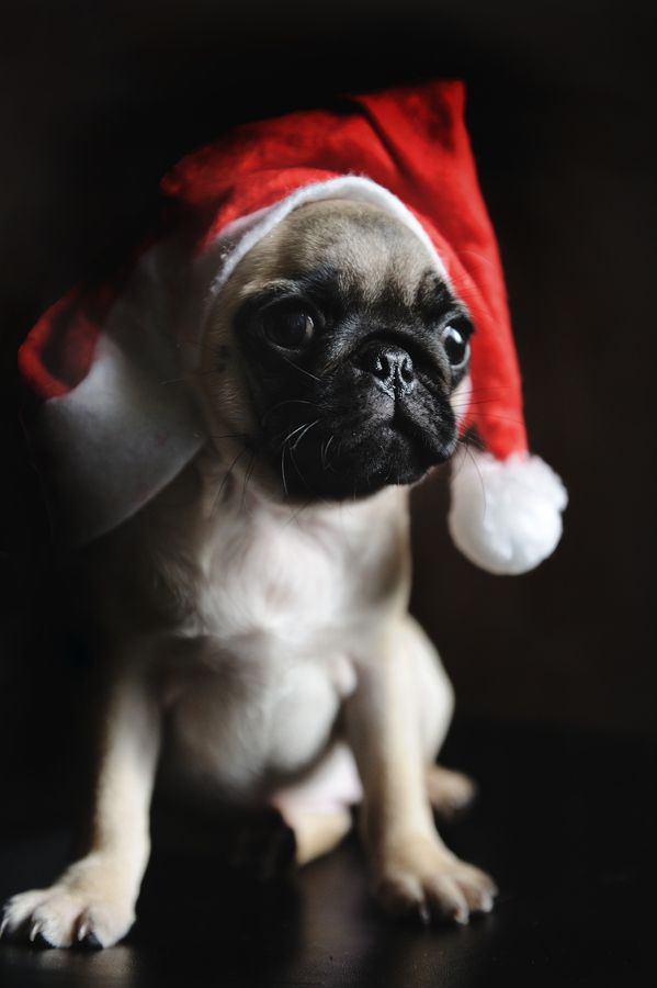 Christmas Pug Photo By Lu Donfer Merry Christmas Card Puppy