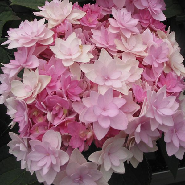 Hortensia - Hydrangea macrophylla You and Me Romance