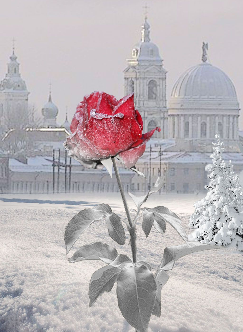 """""""Eine Rose im Winter"""" November 2007.  by Fran Henz"""