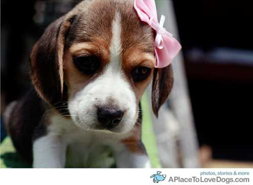 Love Beagles Cute Beagles Baby Beagle