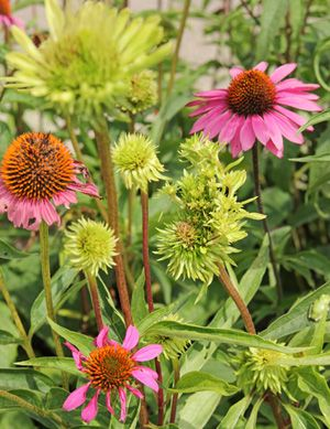 Aster Yellows Infected Purple Coneflowers Plant Diseases Plant Disease Leaves Garden Diseases