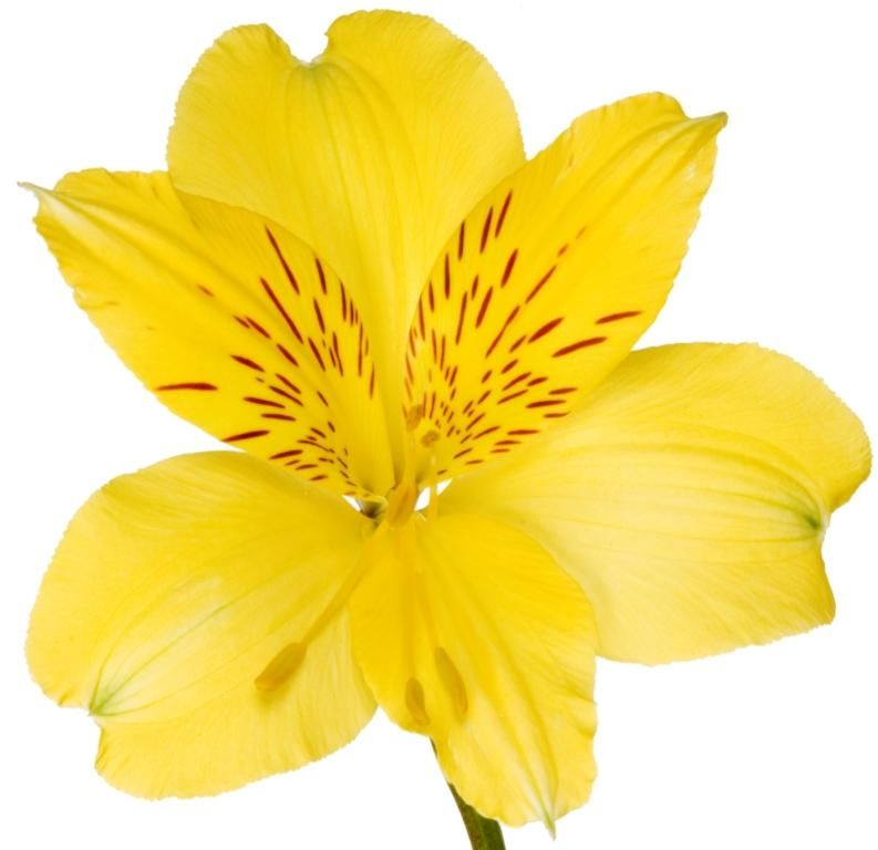 Amor Yellow Alstroemeria | Superb Flowers | Flowers ...