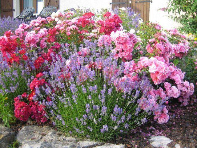Association des rosiers emera kadora et de lavandes for Plantation au jardin