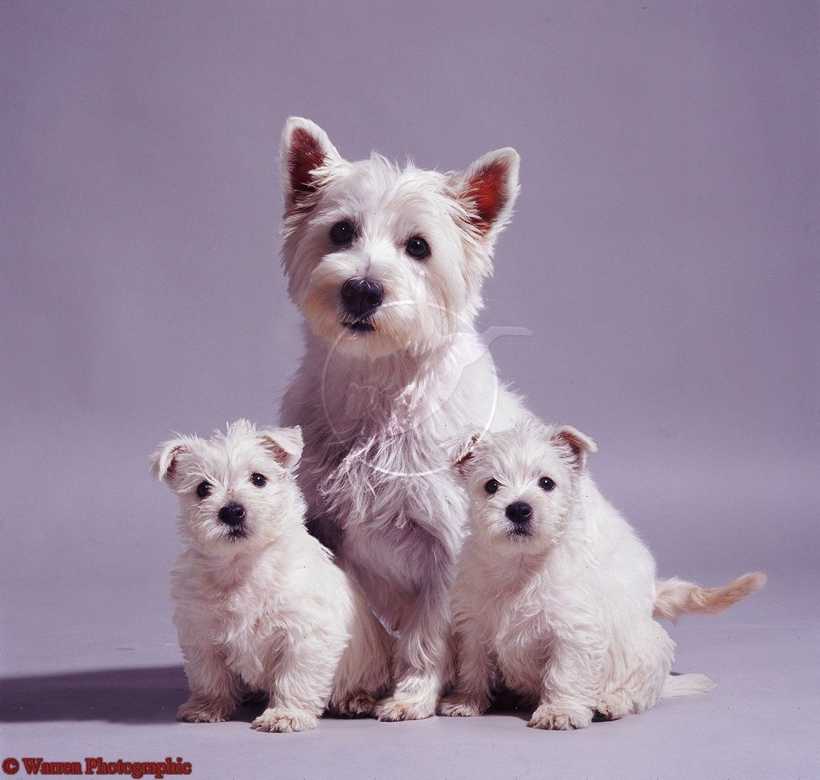 Westie Mother And Pups Hope You Re Doing Well From Your Friends At