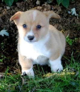 Scamper Welsh Corgi Pembroke Puppy For Sale In Richfield Pa Lancaster Puppies Pembroke Welsh Corgi Welsh Corgi Corgi