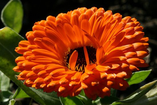 natural remedies homemade calendula salve for cuts and