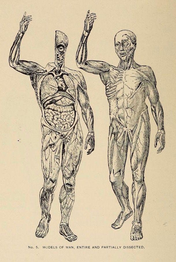Anatomía humana del \
