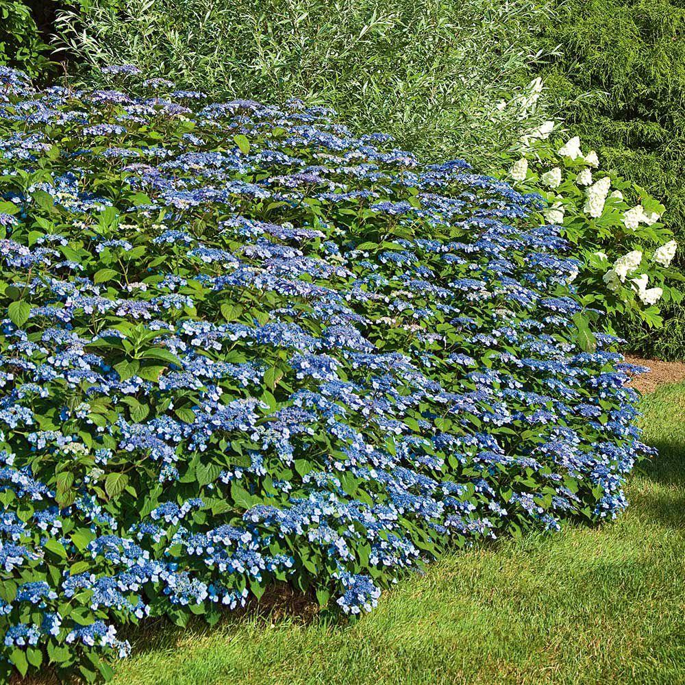 Hydrangea serrata blue billow hydrangea serrata hydrangea and gardens hydrangea serrata blue billow mightylinksfo Images