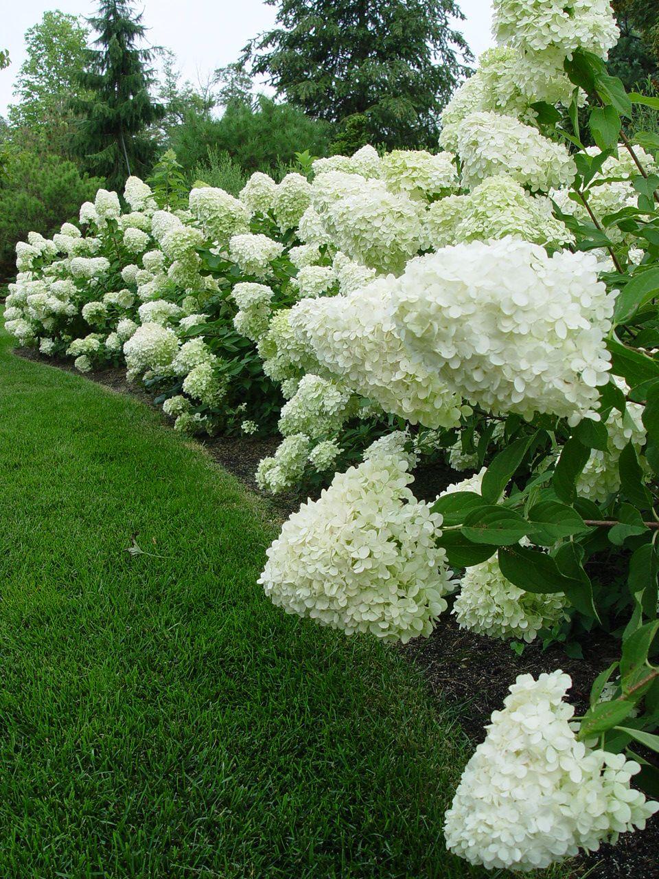 blomstrende buske hele sommeren
