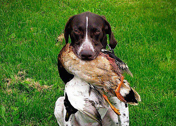 How To Train A Hunting Dog To Retrieve Dogs Hunting Dogs Dog Life