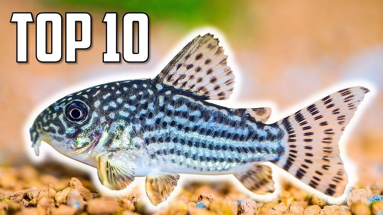 Aquariums top 10 cory catfish for your aquarium cory