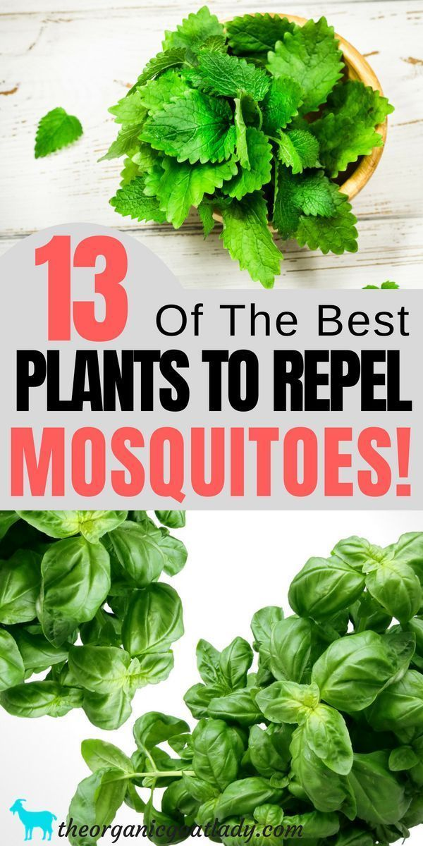 #mosquitoes #plants #repel #that13 Plants That Repel Mosquitoes! #plantsthatrepelmosquitoes #mosquitoes #plants #repel #that13 Plants That Repel Mosquitoes! #plantsthatrepelmosquitoes