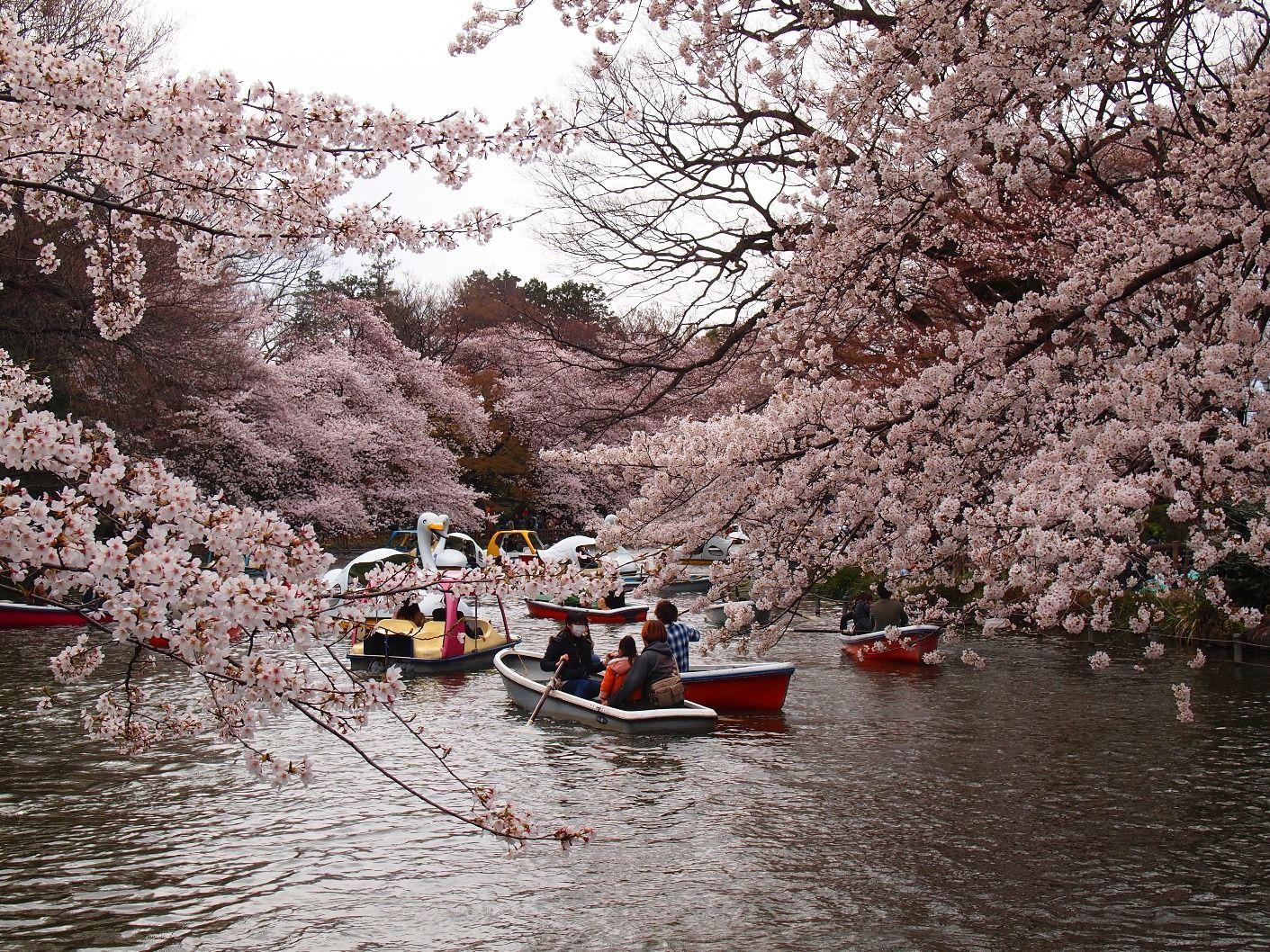 Inokashira Park Cherry Blossom Japan Japan Japanese Cherry Blossom