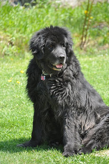 I Would Love To Have One Of These Newfoundland Dog S Newfoundland Dog Dogs Golden Retriever Dogs