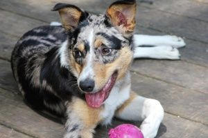 australian shepherd mix. This looks like Fish and Lyric mixed together!