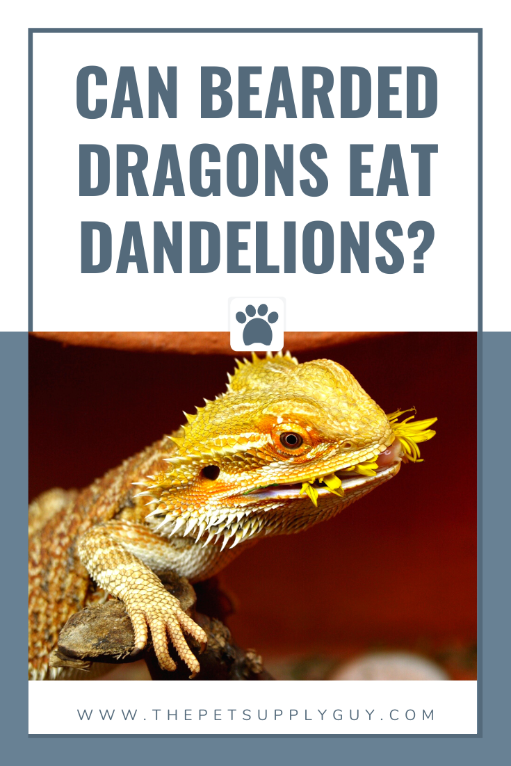 Bearded Dragon Dandelion