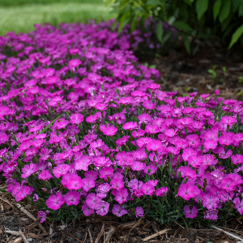 'Paint the Town Fuchsia' Pinks Dianthus hybrid in 2020