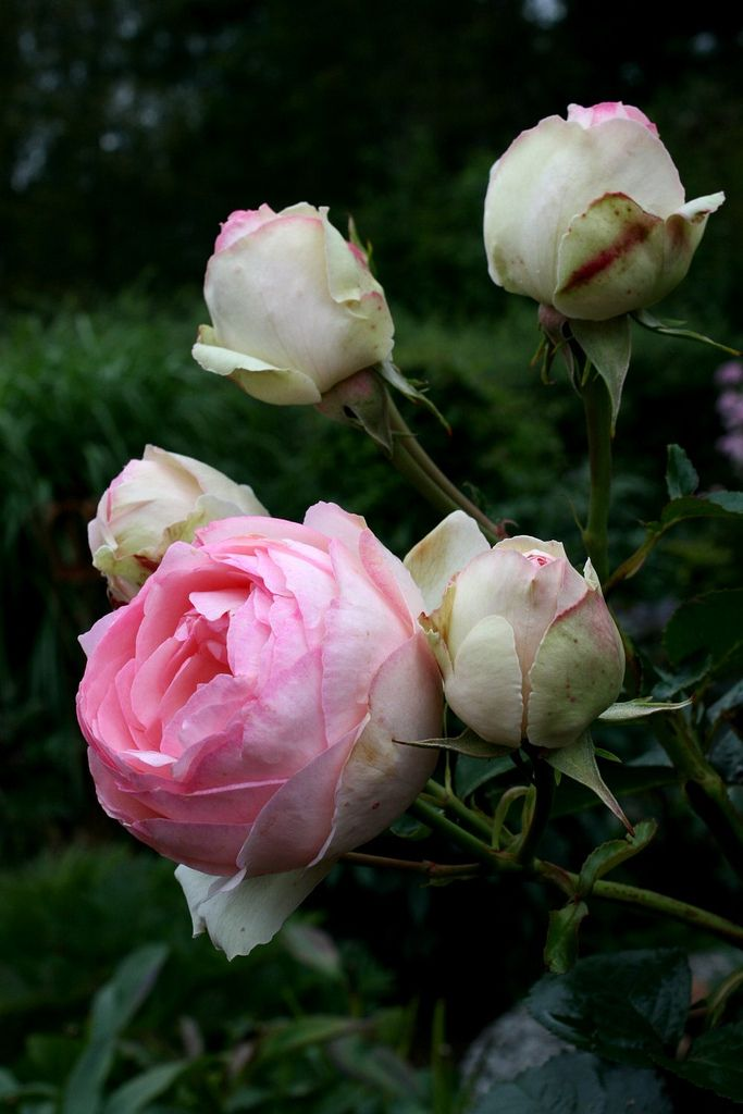 "Rose Willestrup ""Eden Rose"" 