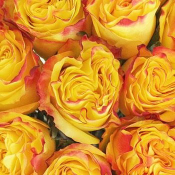 Inferno Yellow with Red Rose - 250 Roses