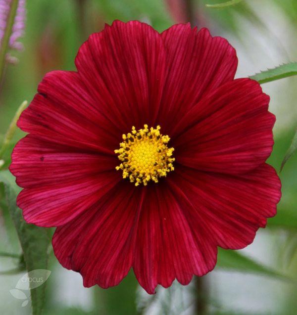 Cosmos Bipinnatus Rubenza Cosmos Types Of Flowers Growing Seeds Seasonal Flowers