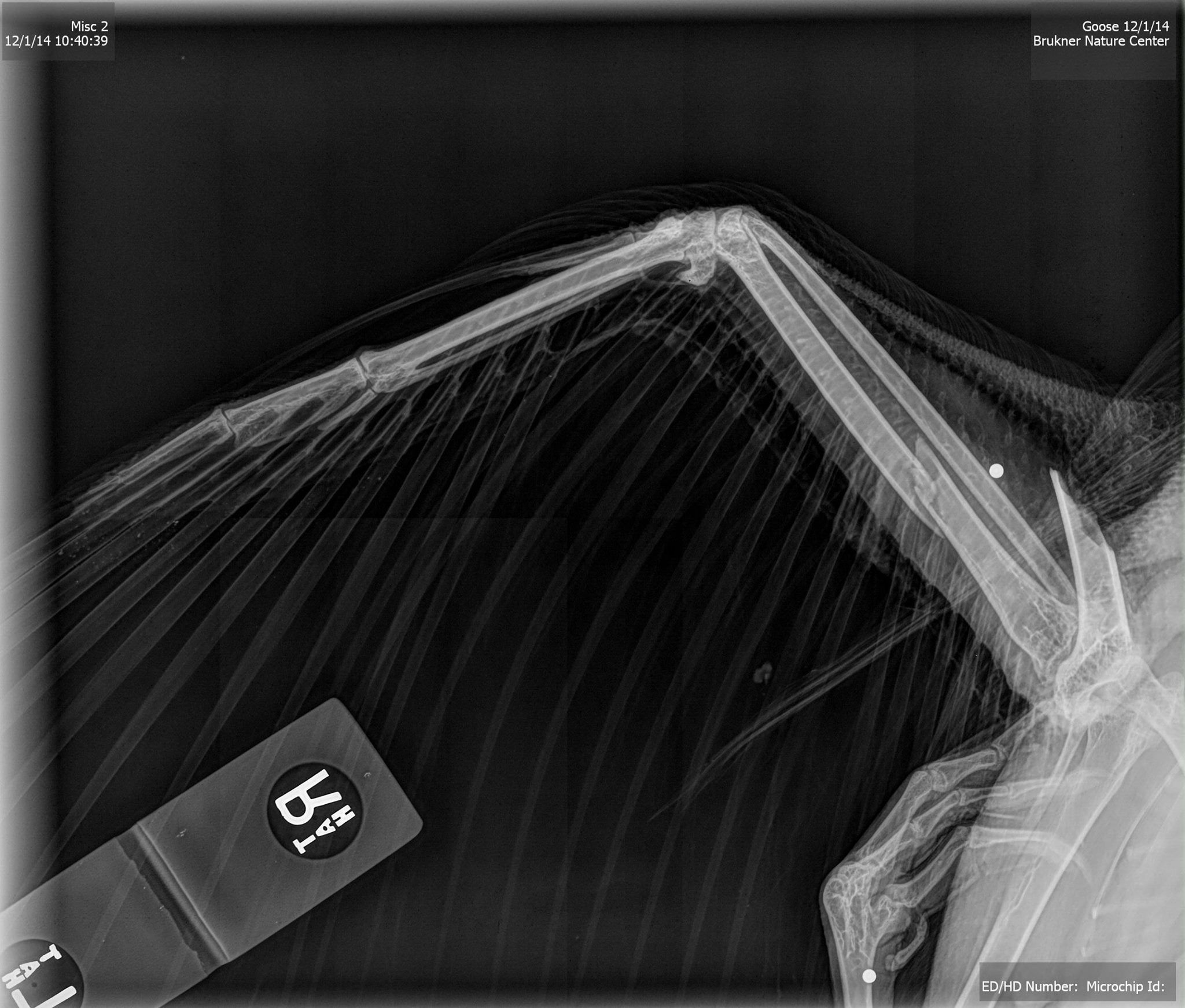 Hopefully your Monday is going better than this Canada Goose's that Brukner Nature Center brought him in last week, and on radiograph it was found that he had been shot and had a broken wing. Dr. Morrow pinned his fracture and he is now back at Brukner. We are hopeful that the wing will heal well enough to allow him to fly again.