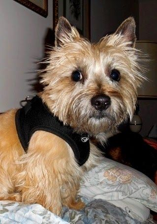 Pin On Cairn Terriers
