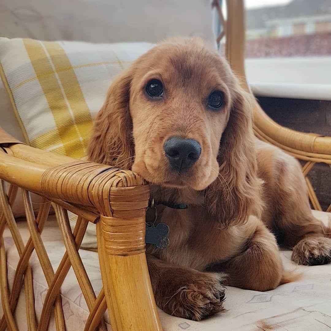 Archie Cocker Spaniel Cute Dogs Golden Retriever