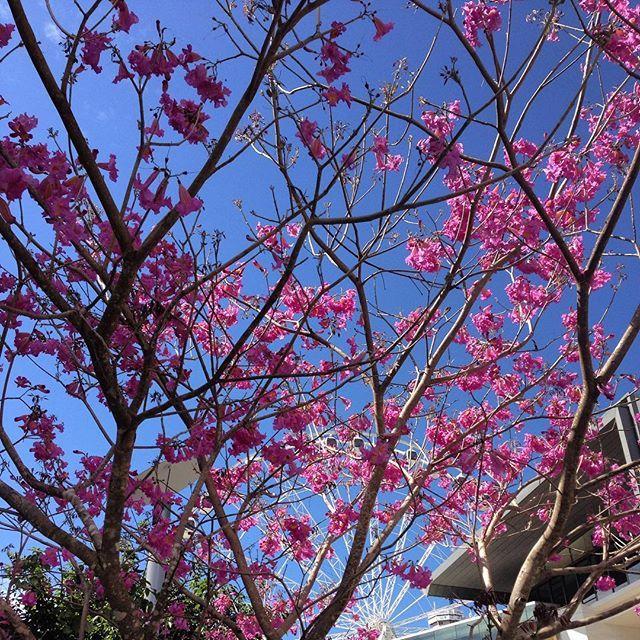 Hire Led Cherry Trees Willow Trees Events Weddings Brisbane Gold Coast Sunshine Coast Wisteria Tree Cherry Blossom Tree Tree