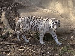 Image Result For Harimau Putih Prabu Siliwangi Kampungku