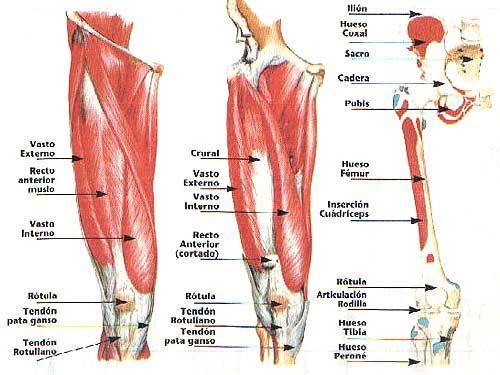 Grupo muscular cuádriceps: 4 cuádriceps crural, recto anterior ...