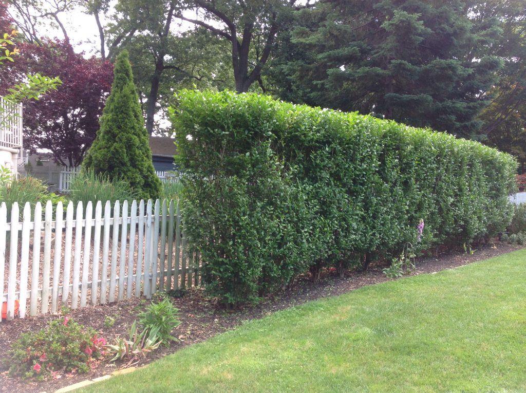 Podocarpus Hedge Planting Spacing Shapeyourminds Com