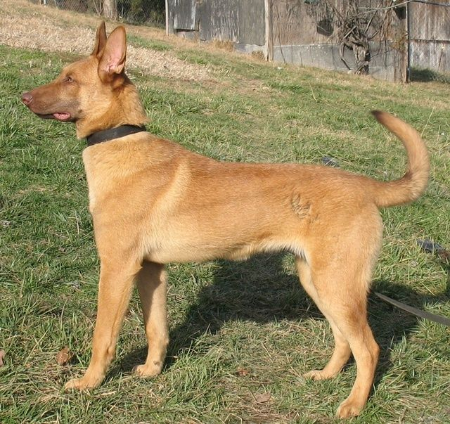 Mainois With Liver Mask Shepherd Dog Breeds Dogs Animals