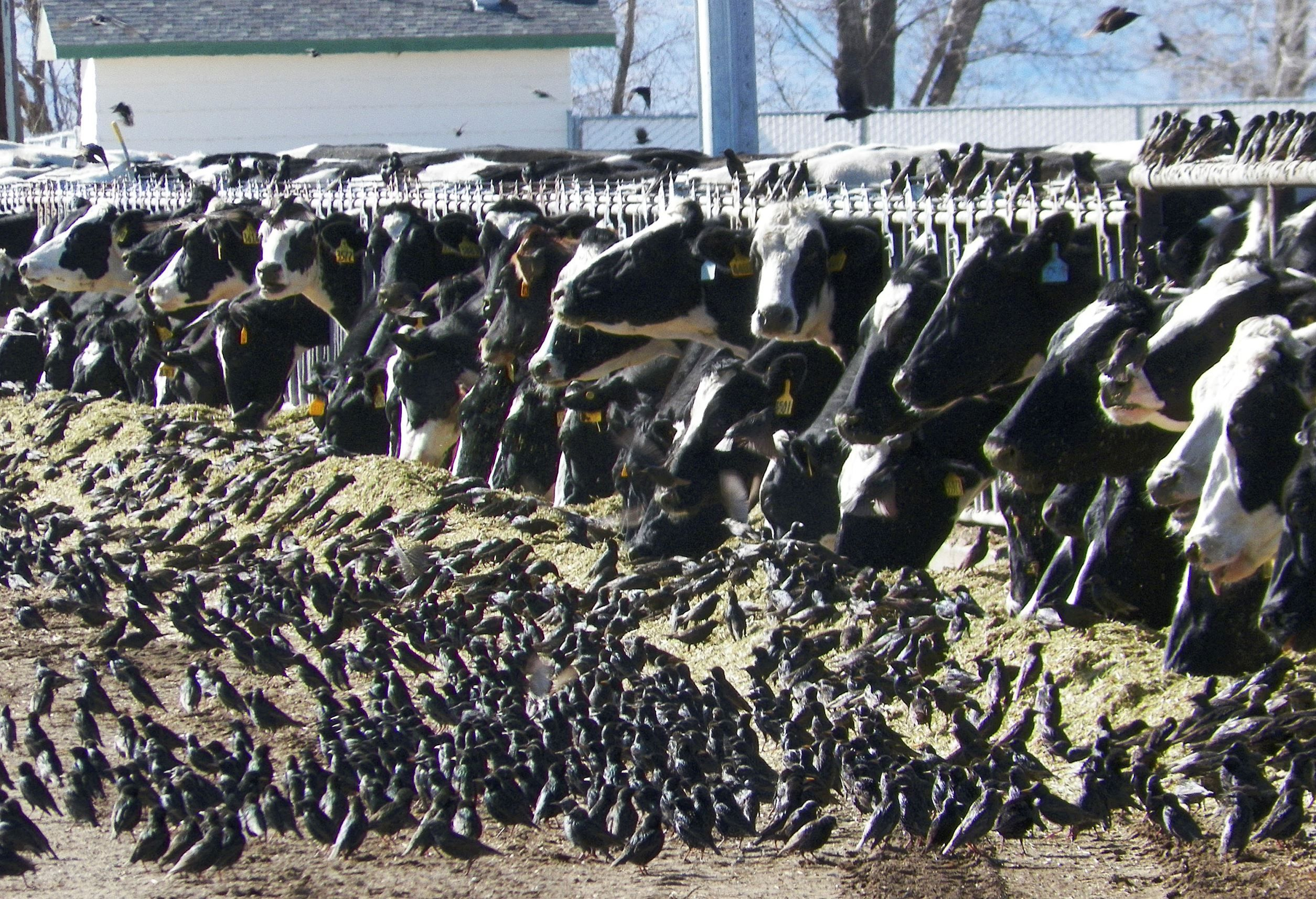 In this undated photo provided by the USDA Animal and Plant Health Inspection Service, a flock of Eu... - AP Photo/USDA APHIS, Jack Spencer