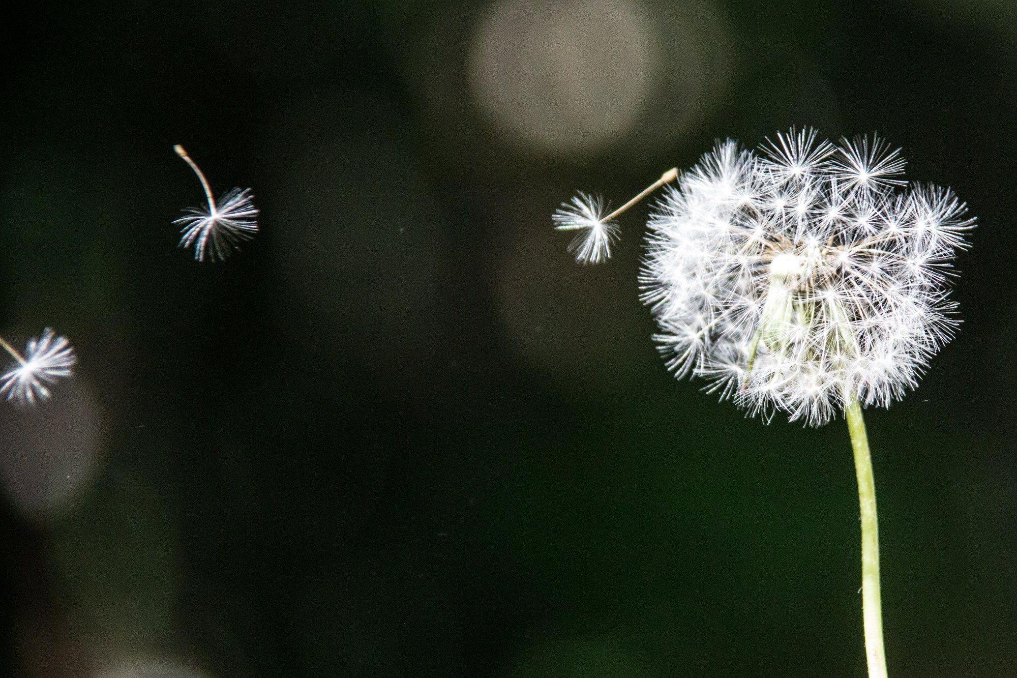Dandelion Flower Wallpaper Hd の画像検索結果