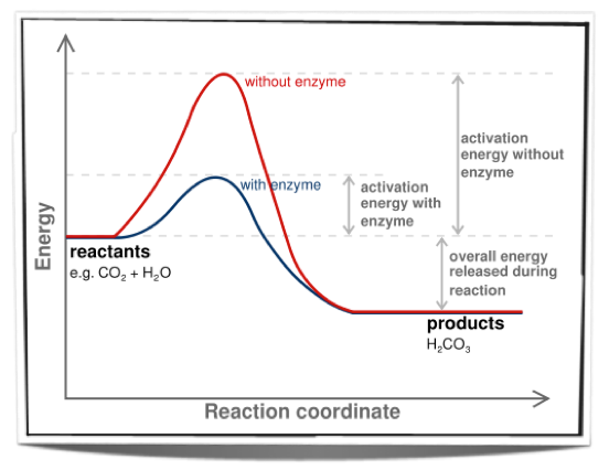 an examination of the effect temperature on enzyme action involving biological catalyst diastase and Enzymes speed up chemical reactions by lowering activation rates in general, the lower amount of activation energy that a potential reaction has, the faster the rate of reaction will be enzymes change shape during the reaction process, which allows them to efficiently reduce activation rates.
