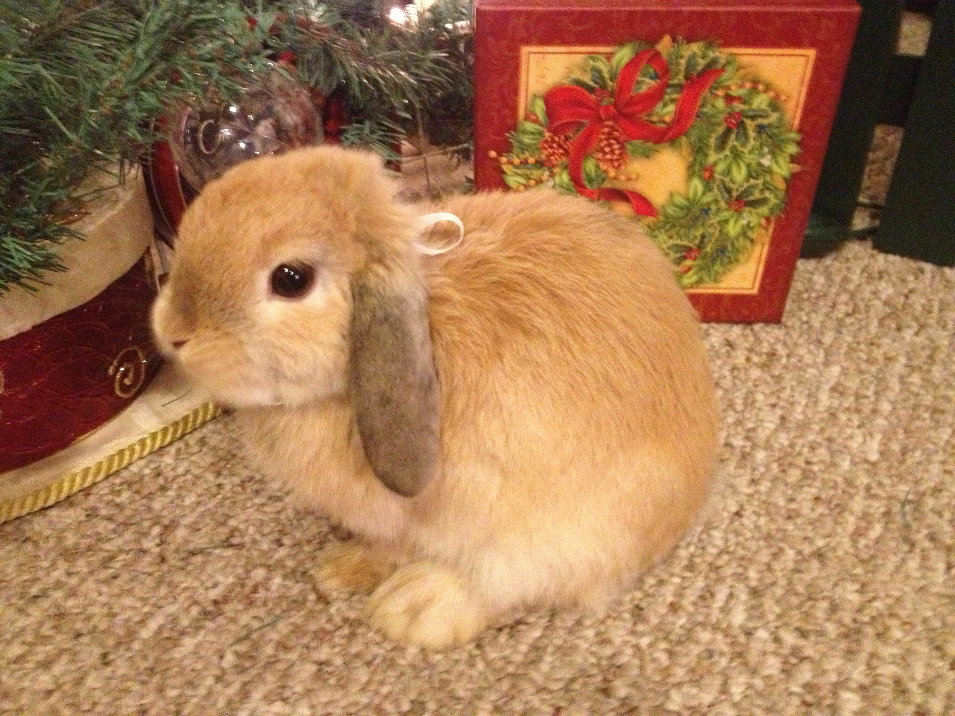 The Christmas Bunny.Rosie Bunny Under The Christmas Tree Brown Holland Lop