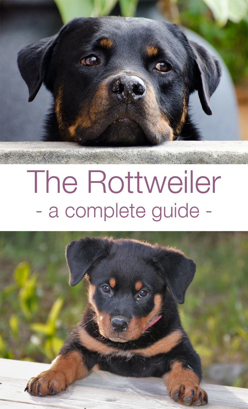 The Rottweiler Your Guide To A Loyal And Protective Breed