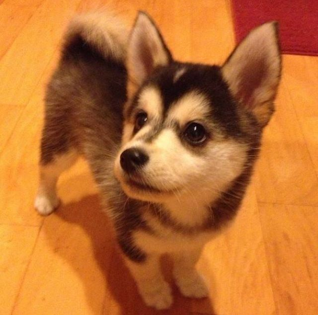 Toy Husky Puppy Cute Animals Corgi Husky Mix Pomsky Puppies
