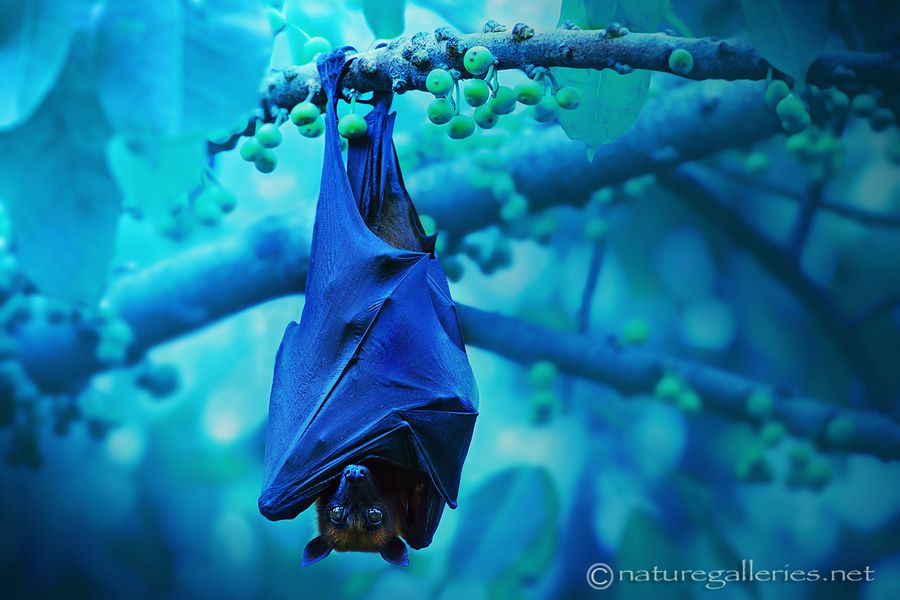 Bat in Night. by Sasi - smit, via 500px -- this one is worth blowing up larger to see his/her face and eyes. :)