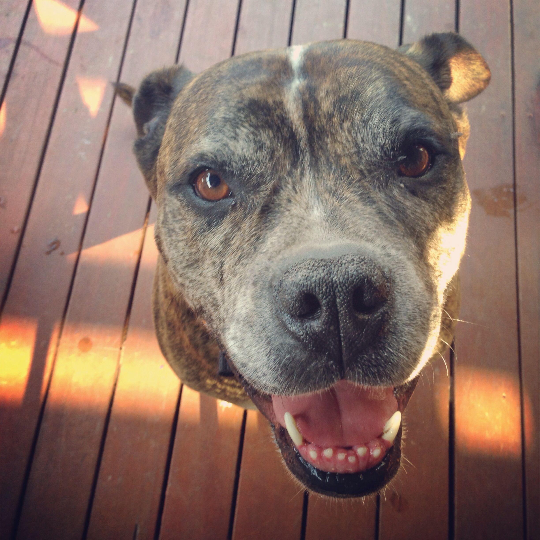 Staffy X Boxer Canine Companions Animals Canine