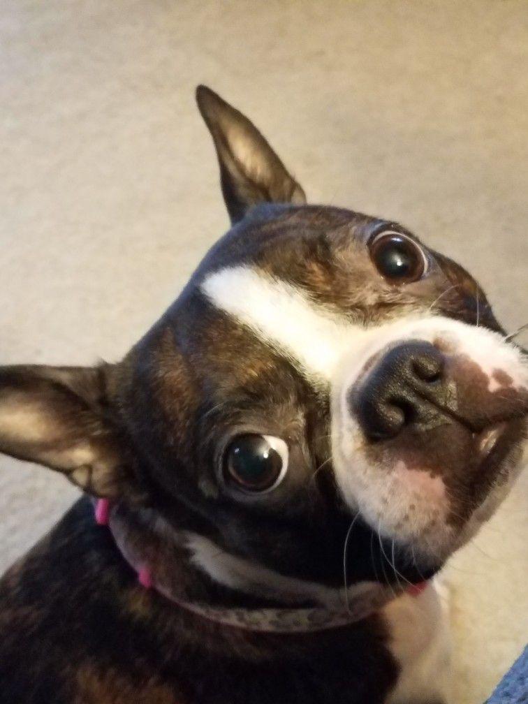 Boston Cuteness Miss Dottie Jane Boston Terriers Terrier