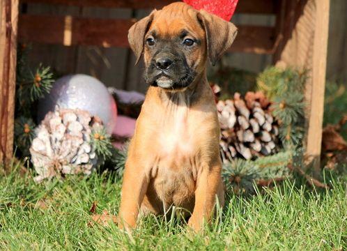 BoxerMastiff Mix puppy for sale in MOUNT JOY, PA. ADN
