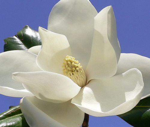 Magnolia Flower Magnolia Flower Flower Pictures Southern Magnolia