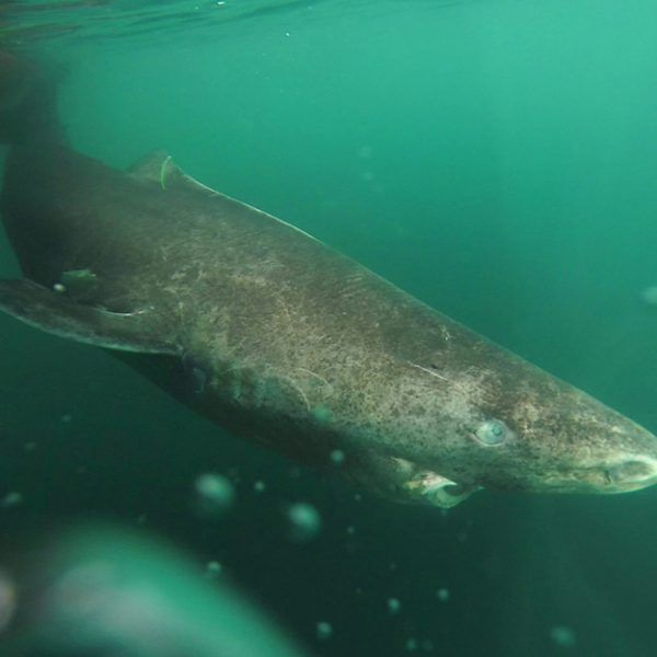 Greenland Sharks Outlive Humans By Hundreds Of Years