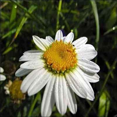 Chrysanthemum Shasta Daisy Flower Seeds (Chrysanthemum Maximum) 200+Seeds