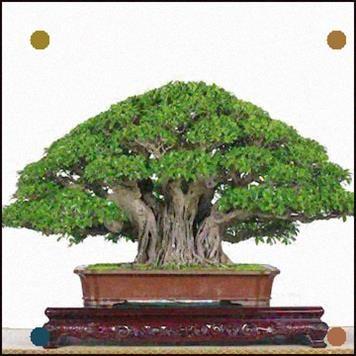 Ficus Bonsai Banyan Weng Zhang - #Banyan #Bonsai #Ficus #Greatindoors #Weng #Zhang