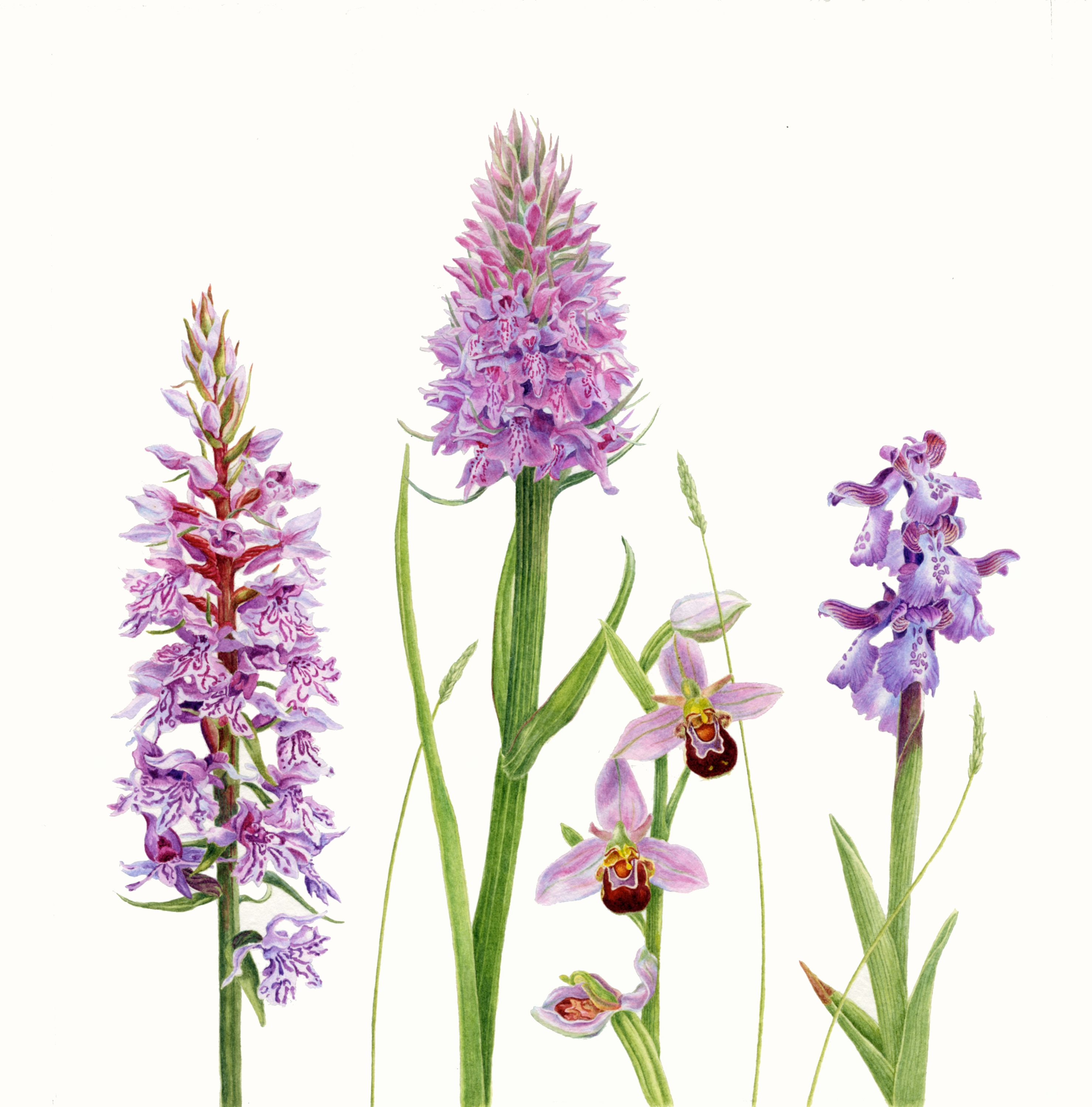 Botanical illustration of orchids in watercolour fleurs3 for Botanic fleurs artificielles
