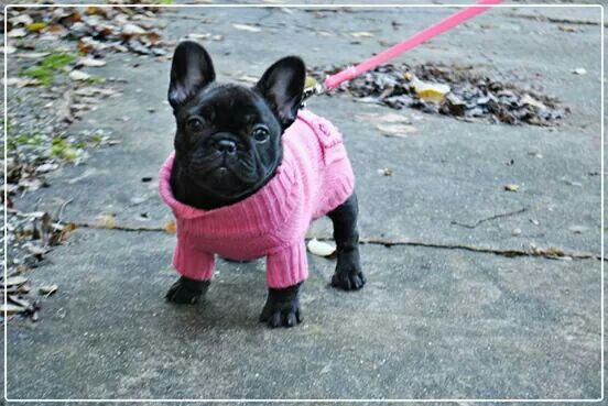 Automne The French Bulldog Puppy In Her New Pink Sweater With