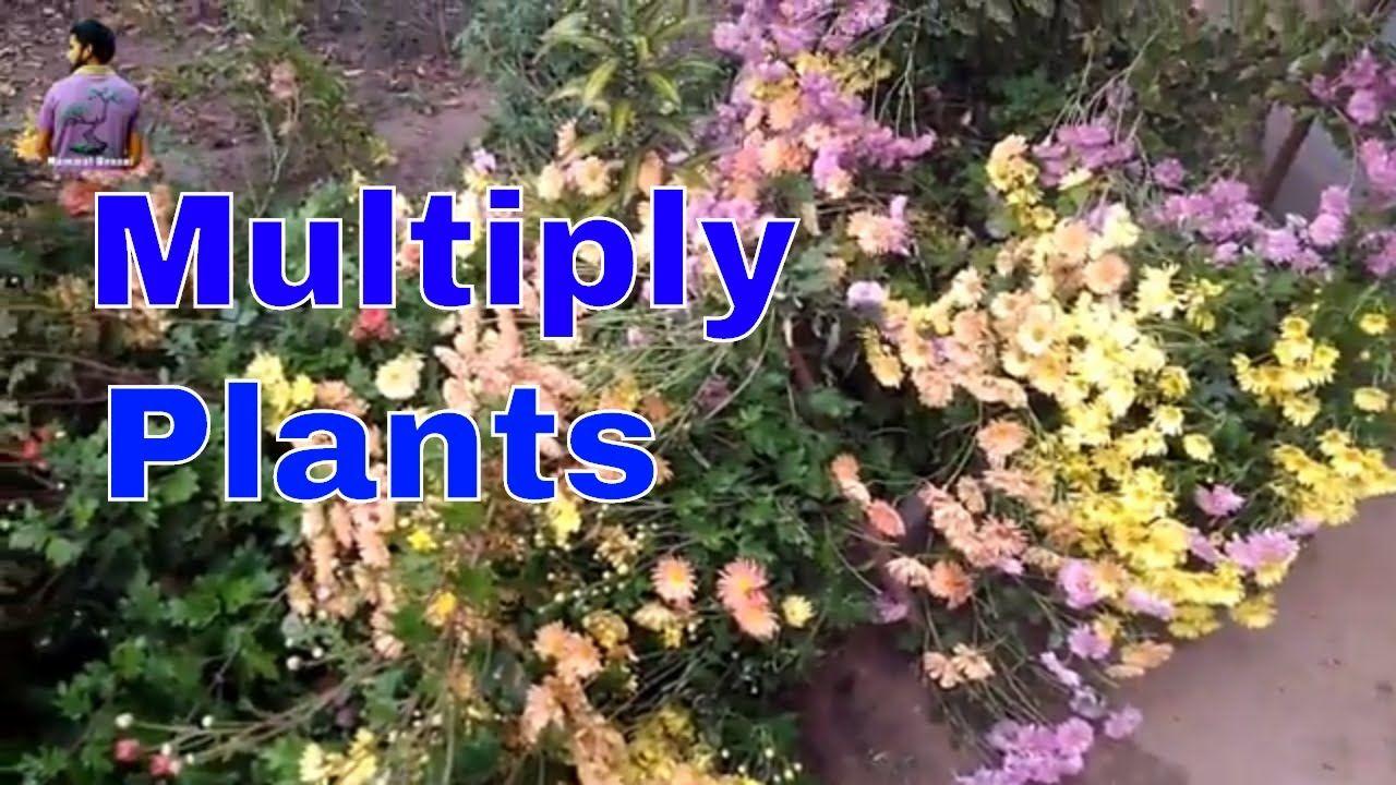 ग लद वर क कट ग स कब उग य How To Multiply Chrysanthemum Plant 16 Chrysanthemum Plant Plants Chrysanthemum