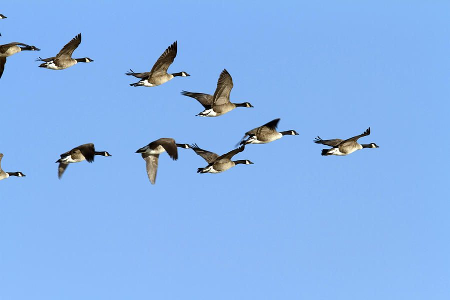 Group Of Canada Geese In Flight. Branta by Philippe Henry | Canada goose,  Canadian goose, Canvas art